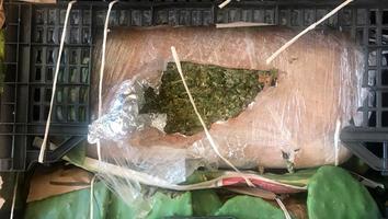 Decomisan casi dos toneladas de mariguana oculta entre nopales en Santa Catarina