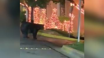 Captan en video a otro oso negro merodeando en San Pedro